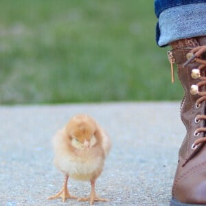 Small yellow chick beside pair of boots