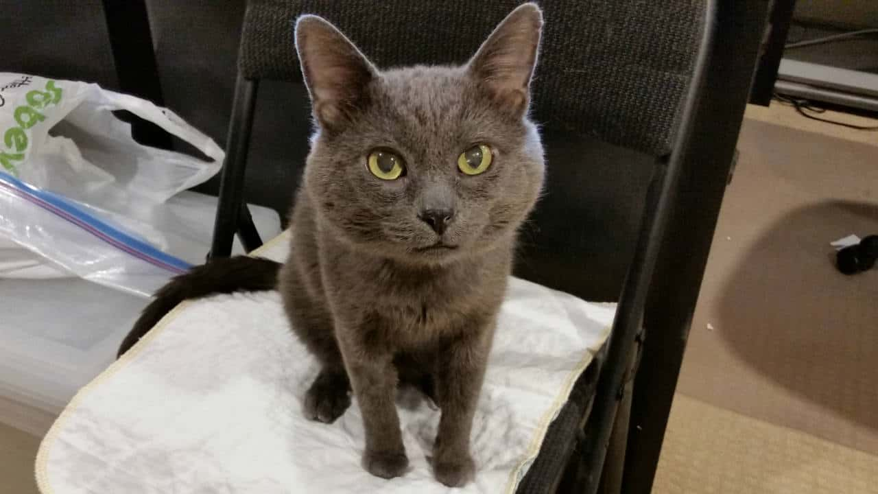 Grey cat looking inquisitively into your eyes